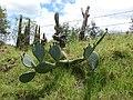 Starr-090519-8034-Opuntia ficus indica-flowering habit-Kula-Maui (24955640645).jpg
