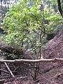 Starr-091029-8706-Aleurites moluccana-habit-Olinda-Maui (24869202702).jpg