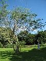 Starr-091104-0793-Delonix elata-habit with Forest-Kahanu Gardens NTBG Kaeleku Hana-Maui (24987608265).jpg