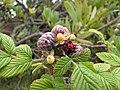 Starr-100616-7135-Rubus niveus-fruit-Waipoli Rd Kula-Maui (24412284443).jpg