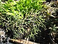 Starr-110215-1436-Hatiora salicornioides-habit-Kihei-Maui (24449395233).jpg