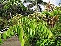 Starr-110330-3844-Murraya koenigii-flowers and leaves-Garden of Eden Keanae-Maui (24785215510).jpg