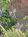 Starr-110331-4500-Phormium tenax-seeds-Shibuya Farm Kula-Maui (24451143294).jpg