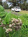 Starr-110502-5290-Rubus niveus-fruit and leaves-Kula-Maui (24975996762).jpg