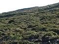 Starr-121015-0674-Santalum haleakalae var haleakalae-habitat with hikers-Halemauu Trail HNP-Maui (24897214400).jpg