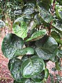 Starr-130316-2548-Polyscias scutellaria-habit-Huelo-Maui (24911932090).jpg