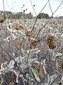 Starr-130422-4281-Encelia farinosa-seedhead-Kahului-Maui (24842781819).jpg