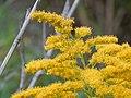 Starr-140930-2062-Solidago canadensis-flowers-Keokea-Maui (25220508716).jpg