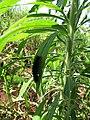 Starr-160218-3931-Conyza bonariensis-Secusio extensa larva resting on leaf-Hawea Pl Olinda-Maui (26853126522).jpg