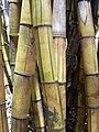 Starr 030807-0122 Bambusa vulgaris.jpg