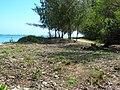 Starr 050414-6342 Casuarina equisetifolia.jpg