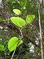Starr 060625-8207 Smilax melastomifolia.jpg