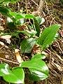 Starr 060625-8208 Smilax melastomifolia.jpg