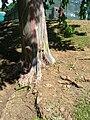 Starr 060703-8289 Eucalyptus deglupta.jpg