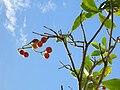 Starr 060922-9072 Fagraea berteroana.jpg