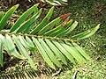 Starr 070306-5123 Encephalartos sp..jpg