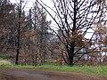 Starr 070908-9106 Pinus sp..jpg