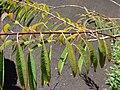 Starr 071024-0279 Euphorbia fulgens.jpg