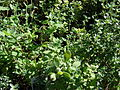 Starr 080103-1285 Thymus vulgaris.jpg