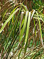 Starr 080609-7927 Cyperus involucratus.jpg