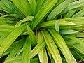 Starr 080610-8287 Pandanus amaryllis.jpg