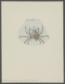 Stenocinops cervicornis - - Print - Iconographia Zoologica - Special Collections University of Amsterdam - UBAINV0274 095 16 0004.tif