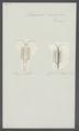 Stenosoma viridissima - - Print - Iconographia Zoologica - Special Collections University of Amsterdam - UBAINV0274 098 06 0005.tif