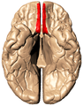 Straight gyrus - inferior view.png