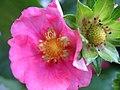 Strawberry bloom (3989155297).jpg