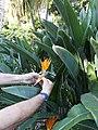 Strelitzia reginae with opened hypsophyll.JPG