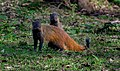 Stripe-necked mongoose.jpg