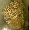 Stuffed Display of an Indian Leopard.jpg