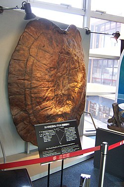 Stupendemys geographicus replica Osaka.jpg