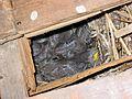 Sturnus vulgaris (Spreeuwen nest met jongen).jpg