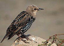 Juvenile moulting