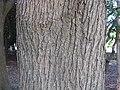 Styphnolobium japonicum1.jpg