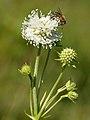 Succisa pratensis - Apis mellifera - Keila.jpg