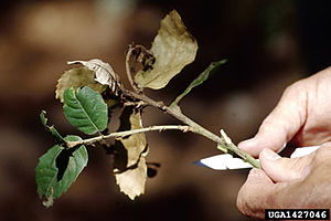 Phytophthora - Sudden oak death caused by Phytophthora ramorum