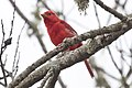 Summer Tanager (Piranga rubra).jpg