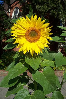 Sunflower uf7