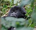 Susa group, mountain gorillas - Flickr - Dave Proffer (19).jpg