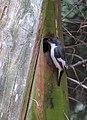 Svartvit Flugsnappare Pied Flycatcher (14333621047).jpg