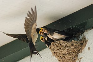 Swallows in nest 2.jpg