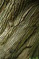 Sweet chestnut tree - geograph.org.uk - 803447.jpg
