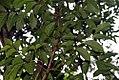 Swietenia macrophylla 6zz.jpg