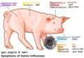 Swine flu symptoms on swines.png