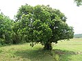 Syzygium caryophyllatum - South Indian Plum at Mayyil (15).jpg