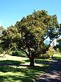 Syzygium luehmannii (SRBG).jpg