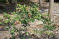 Syzygium luehmannii 2zz.jpg