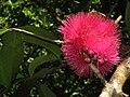 Syzygium malaccense, Mangunharjo Orchard, Dlingo, Yogyakarta.jpg
